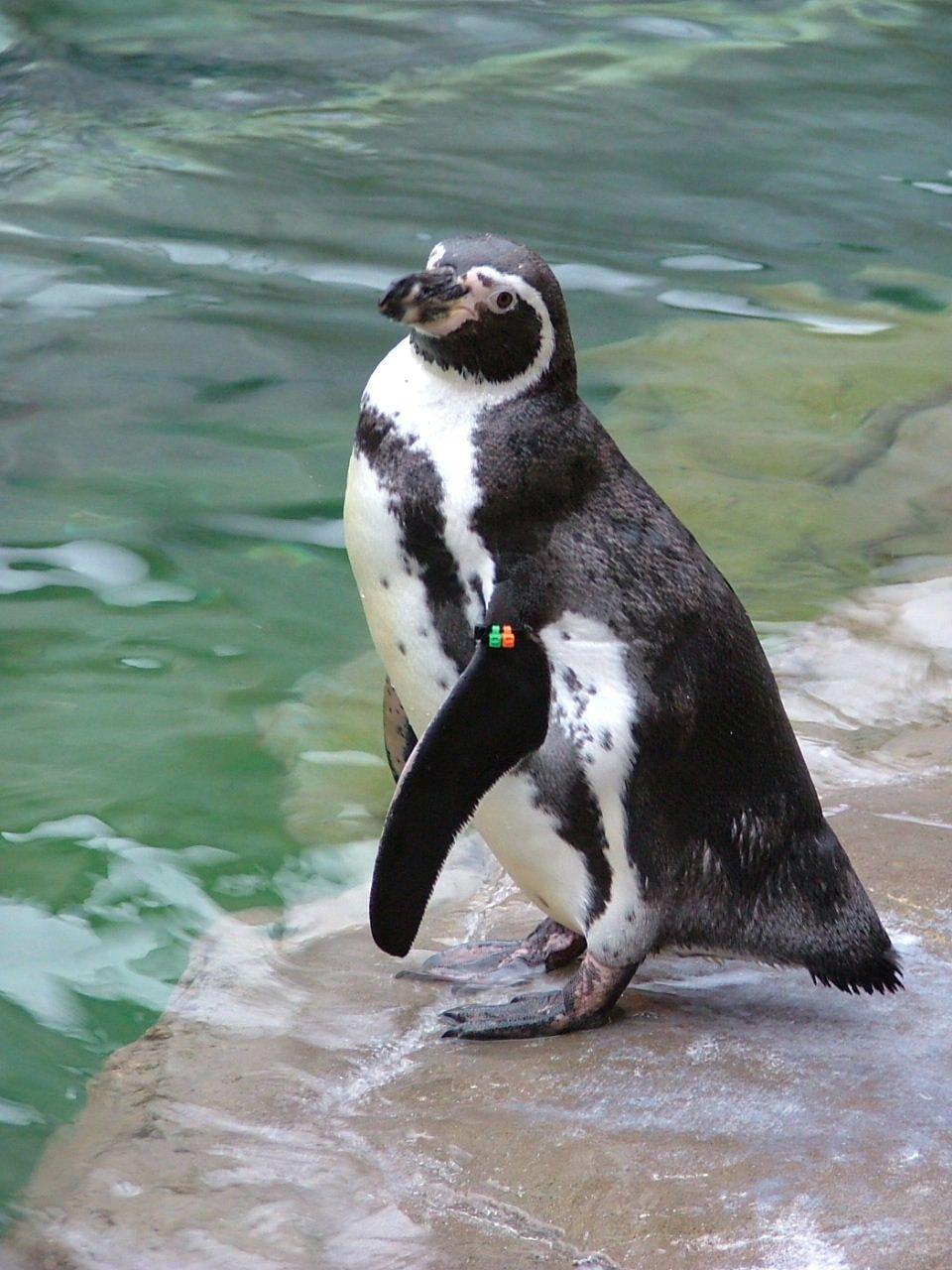 Amigo the Humboldt Penguin at the Akron Zoo