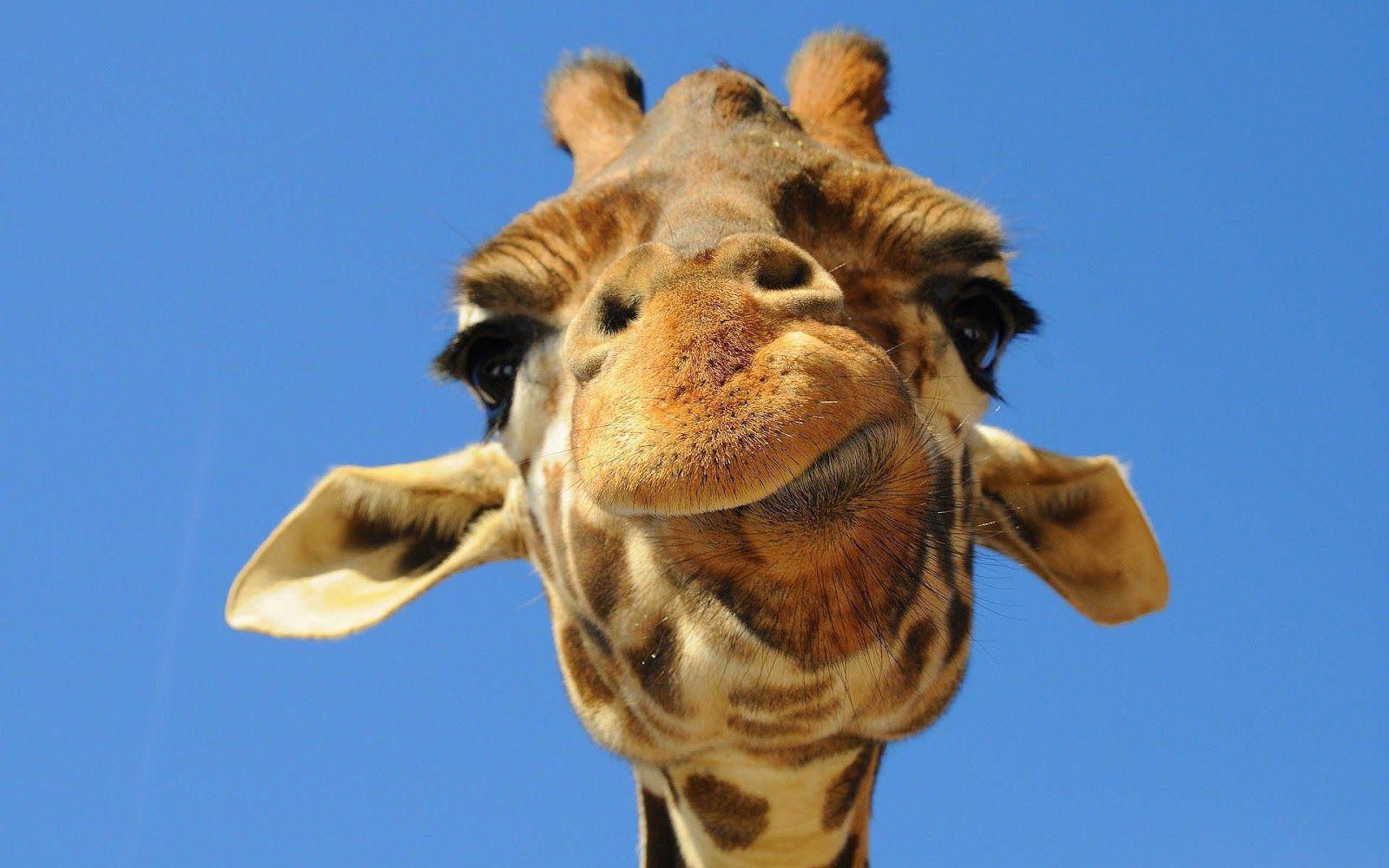funny giraffe pictures portrait picture of a giraffe