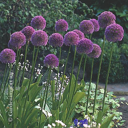 Allium Lucille Ball I Bought A Few Of These From Garden Import This
