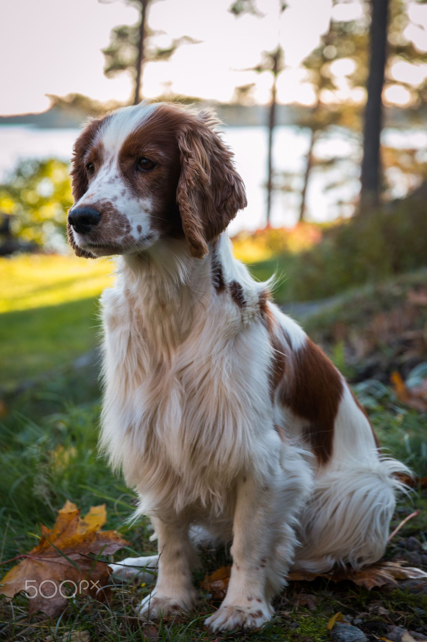Nella Welsh Springer Spaniel Welsh Springer Spaniel