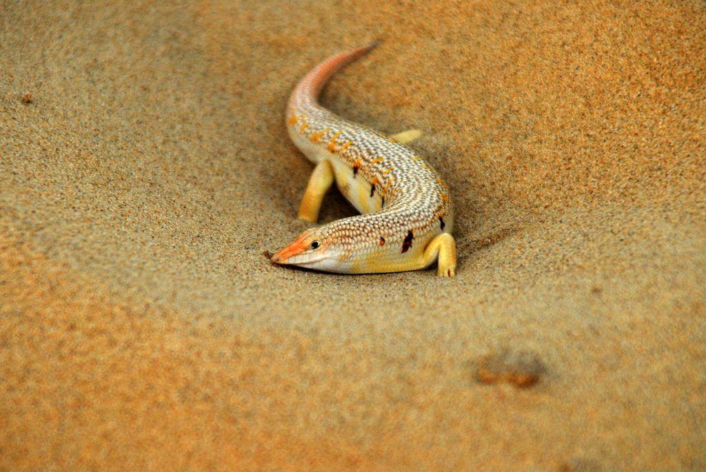 Arabian Desert Geckos