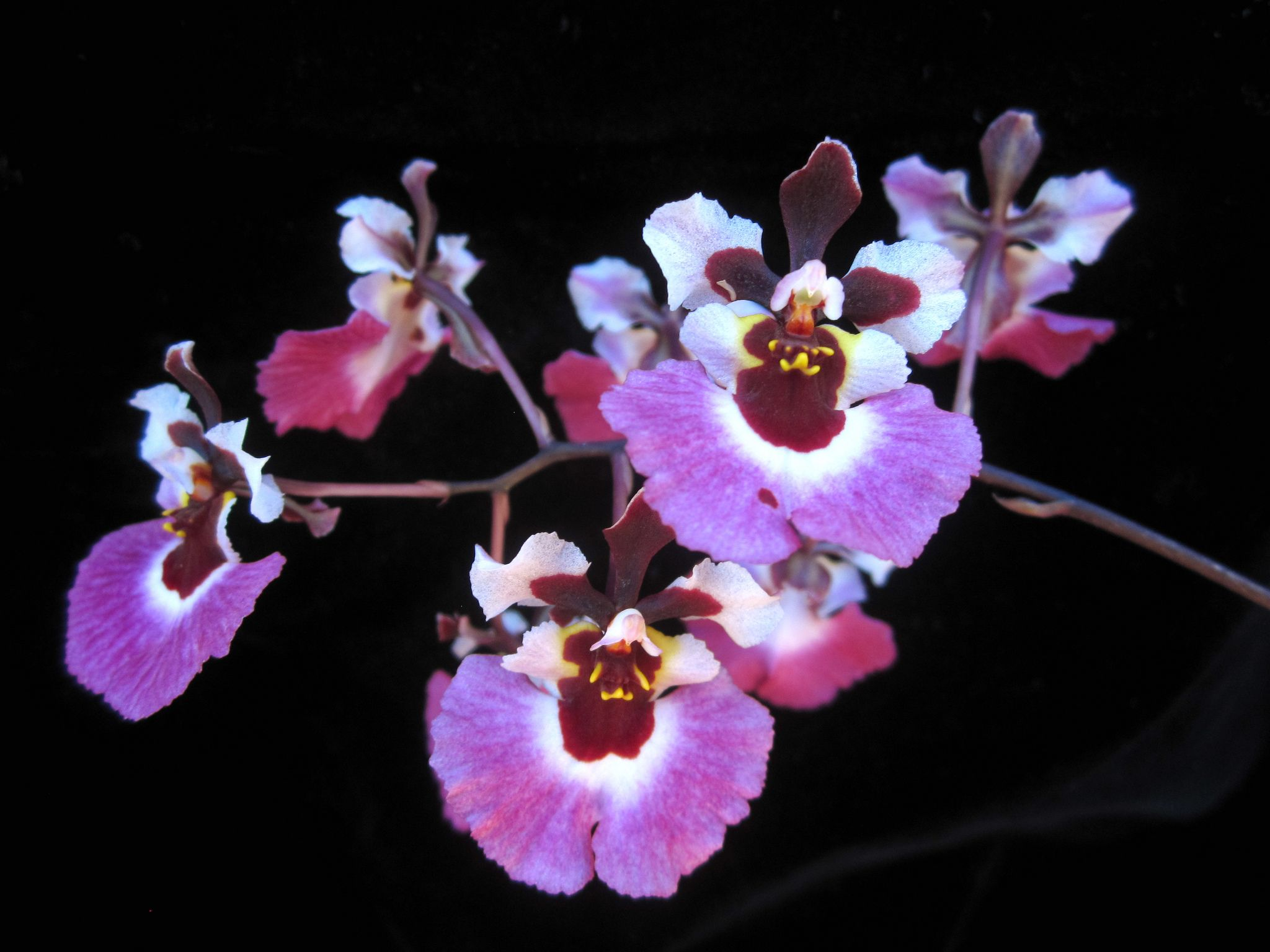 Tolumnia Pink Panther Pink Panthers Orchid And Flowers