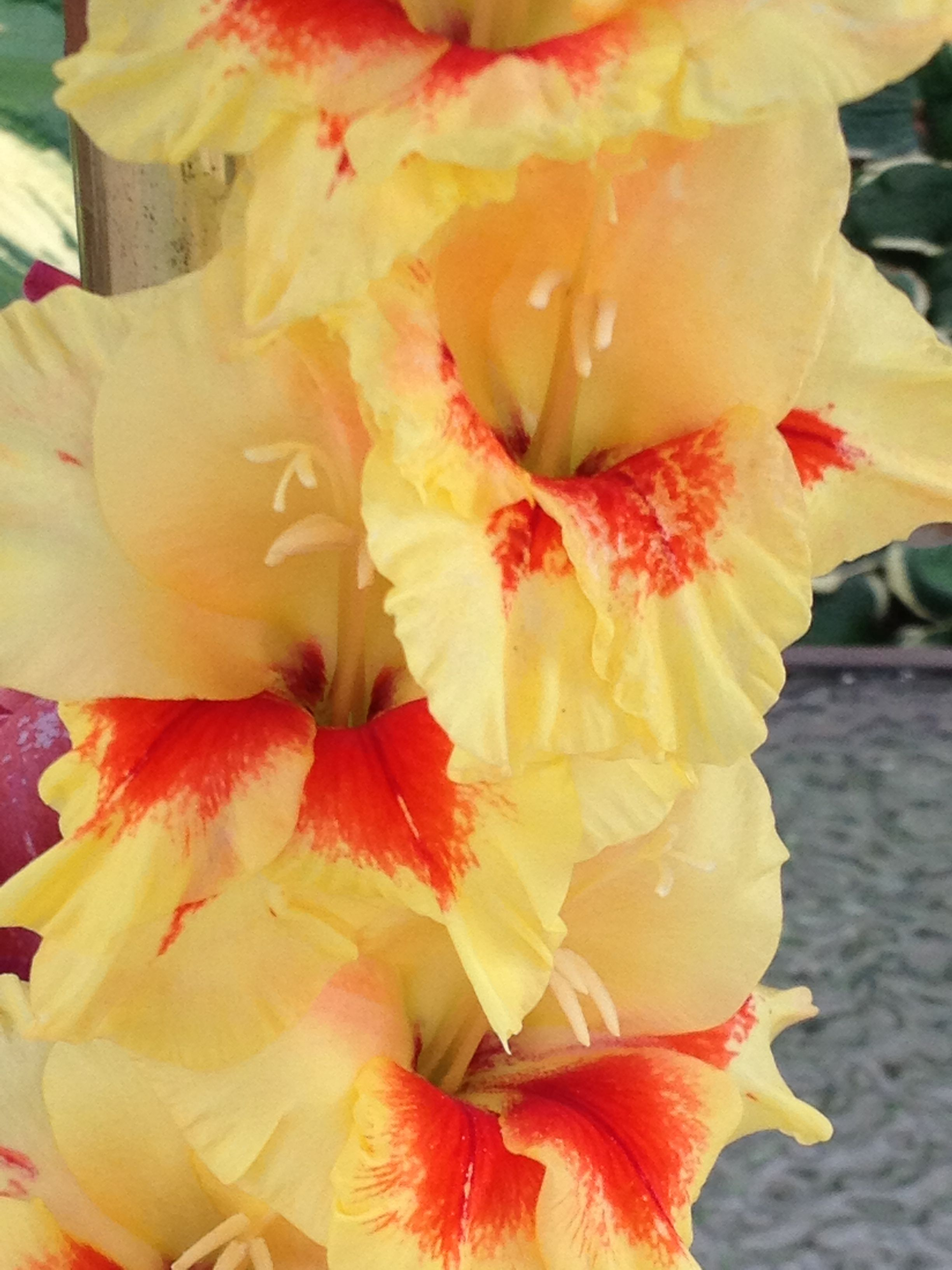 love these glads