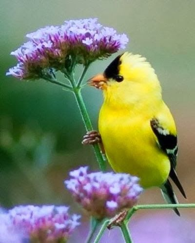 Goldfinch On Verbena Beautiful But Looks More Like Statice Flower