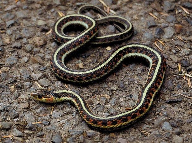 The Snake In The Garden Snake Alsea Oregon Outdoors