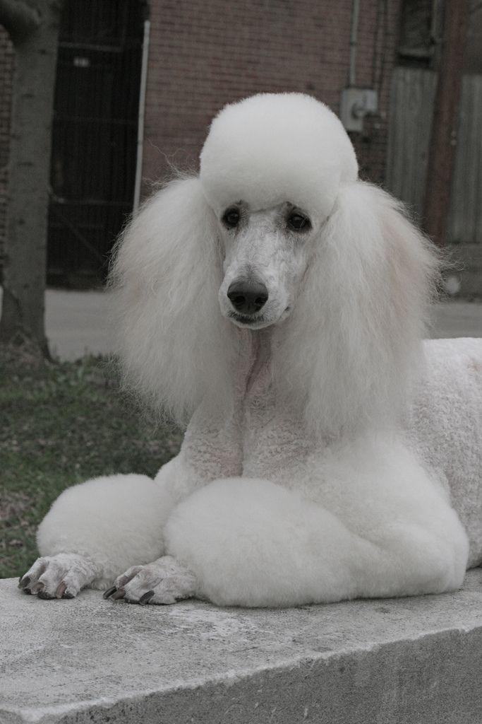 Img 1396 Mit Bildern Pudel Hunde Wesen