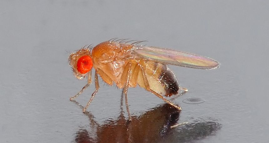short sex chromosome discovered in fruit flies in Bedford