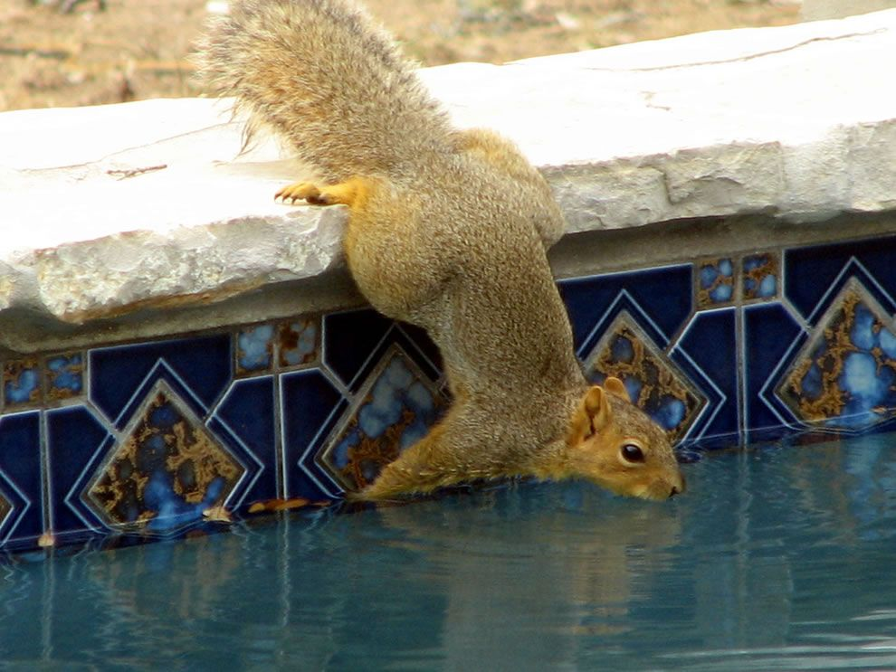 Drinking from a swimming pool. If a squirrel was inclined