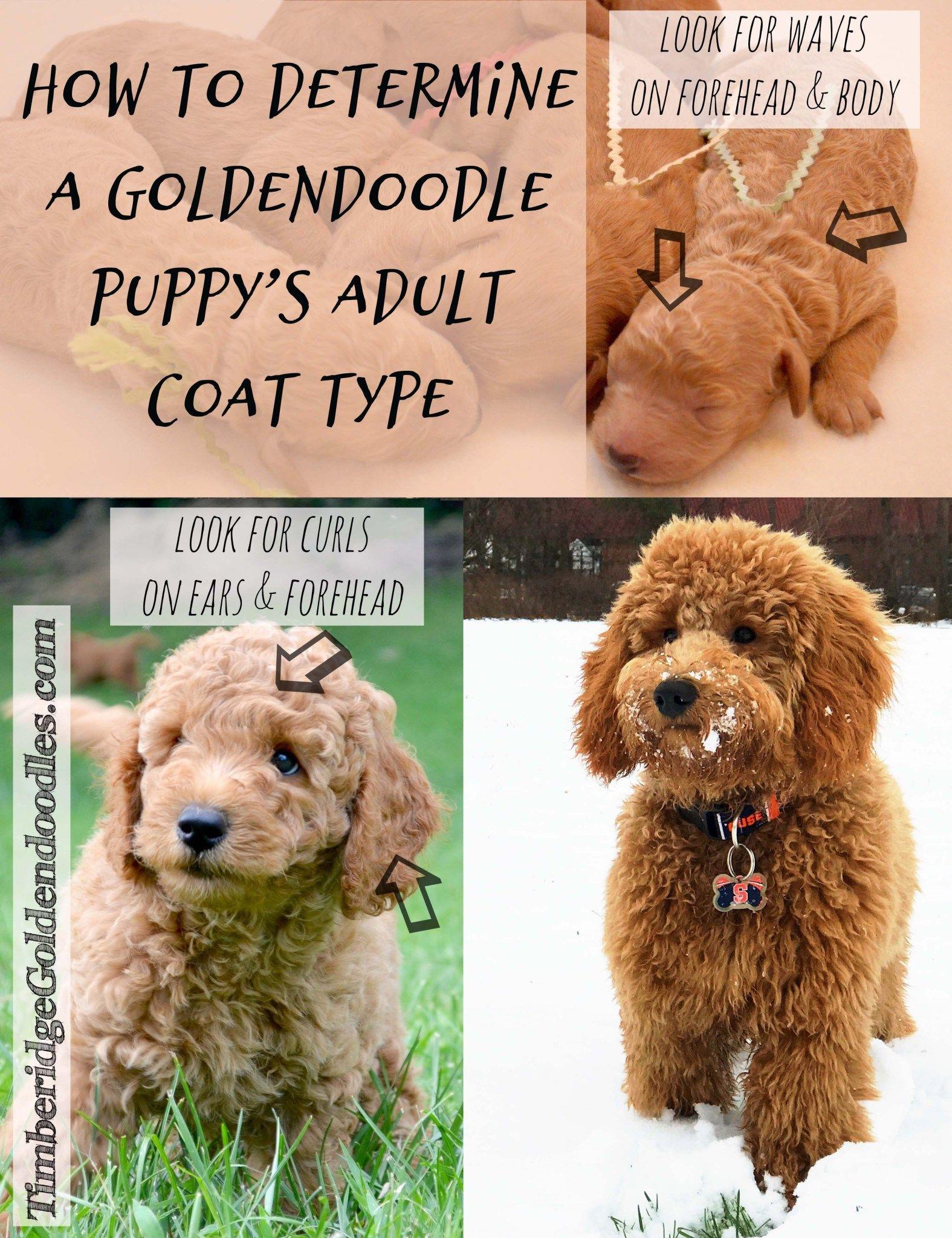 Goldendoodle Coats Goldendoodle Mini Goldendoodle Puppies