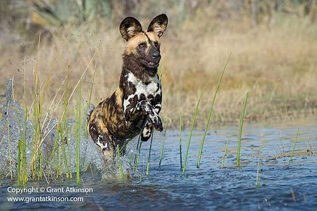 African wild dog in Botswanas Okavango Delta by Grant Atkinson http://ift.tt/2eJe4tH