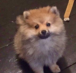Pomeranian Evil Cute Dogs Pinterest Dog