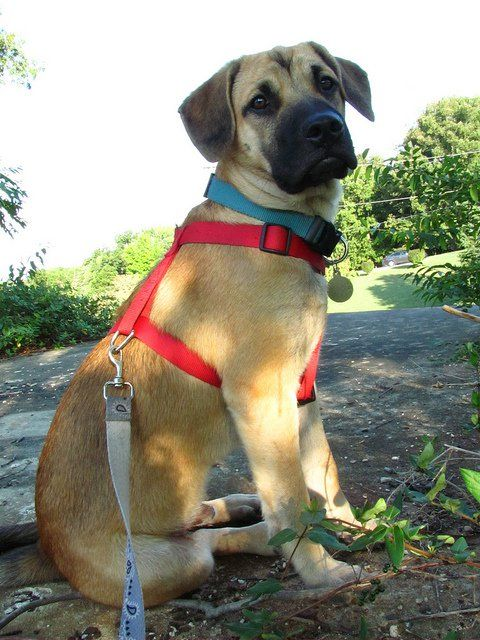 Black Mouth Cur Dog Breed Health, Grooming, Feeding, Temperament, and Puppies- PetGuide