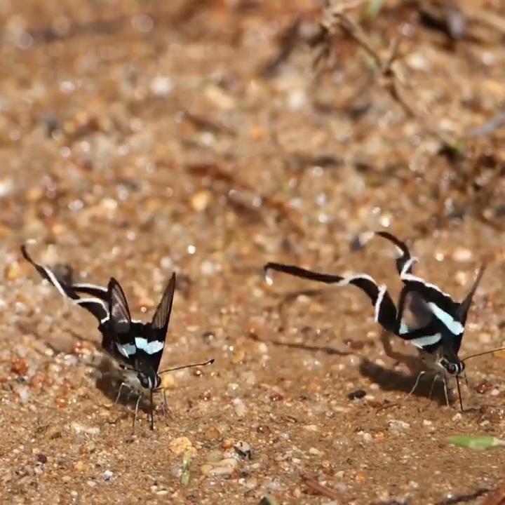 Dragon Tail Butterflies