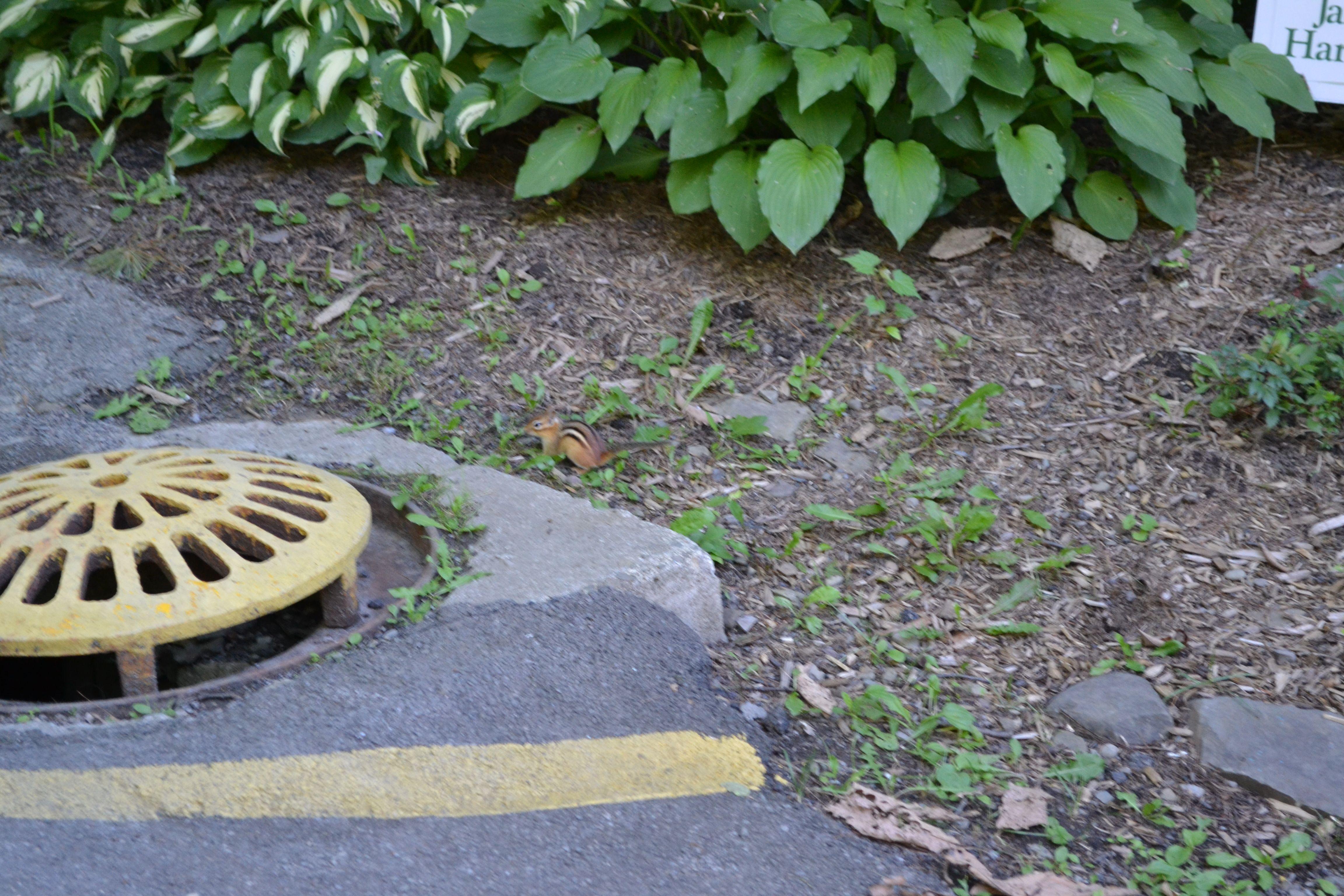 A wild chipmunk approaches outdoor decor outdoor decor