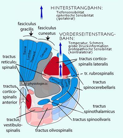Physiologie: motorische Funktionen des Rückenmarks | Anatomie ...