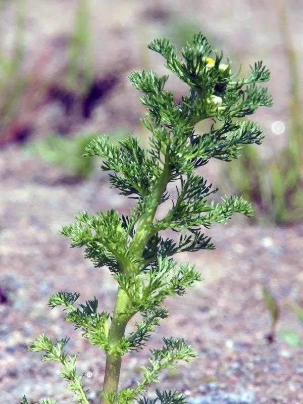 Pihasaunio, Matricaria discoidea - Kukkakasvit - LuontoPortti