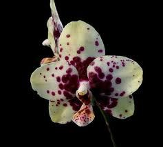 Orchids Orchid Seeds Beautiful Orchids Phalaenopsis Orchid