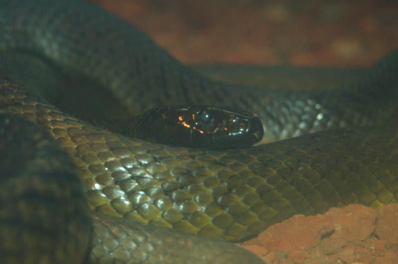 the fierce snake | The fierce snake