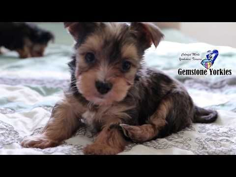 Available Exotic Colored Yorkies, Merle Yorkie Puppies in