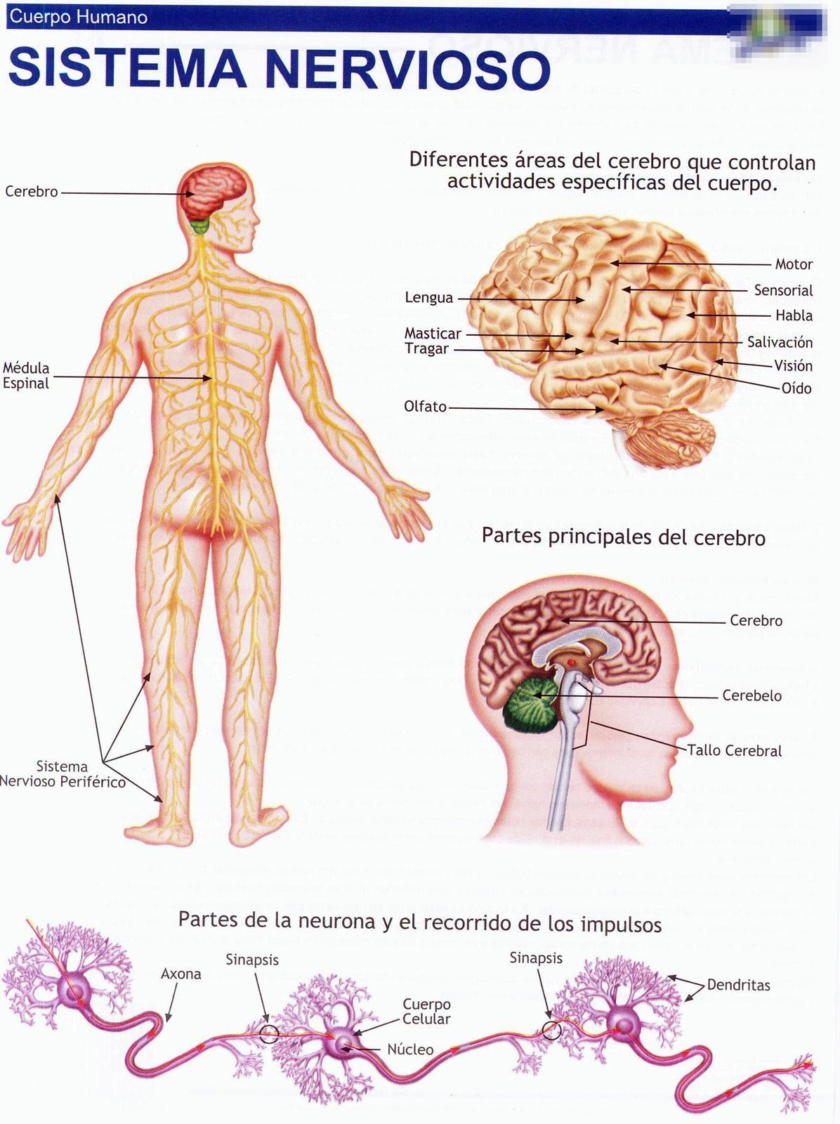 45 imagenes a todo color para recortes | Sistema nervioso, Laminas y ...
