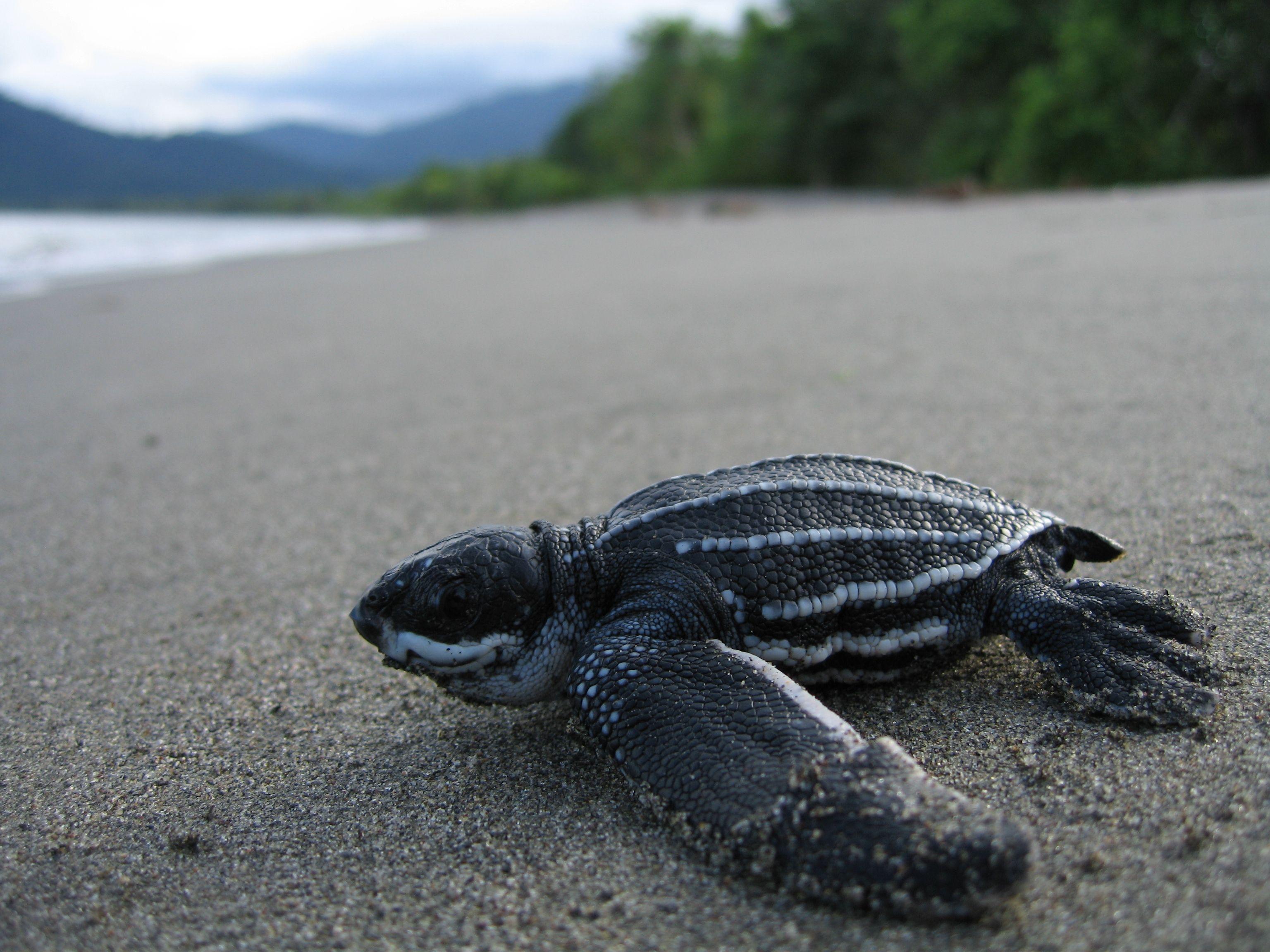 Leatherback Turtle Dermochelys Coriacea Noaa Fisheries