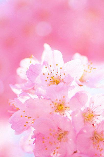 Sakura Pink Magic Beautiful Flowers Blossom Flower Pretty Flowers