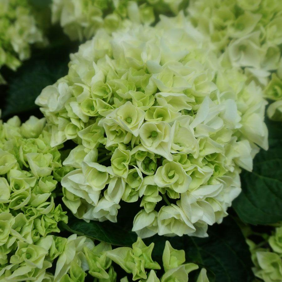 Hydrangea Macrophylla Wedding Gown: Hydrangea Everlasting® Bride