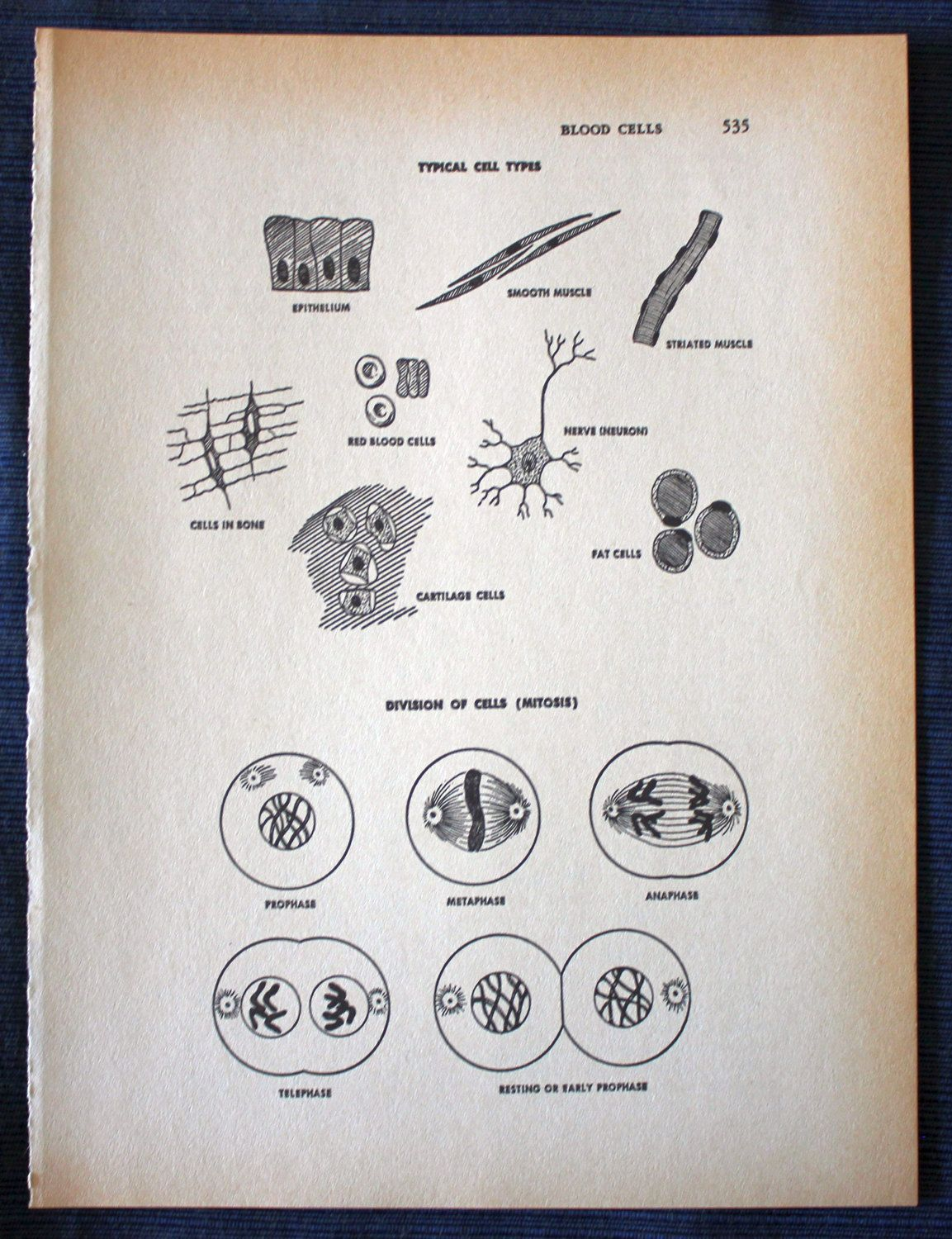 Typical Cell Types//1960 Medical Print// Vintage//Human Anatomy ...