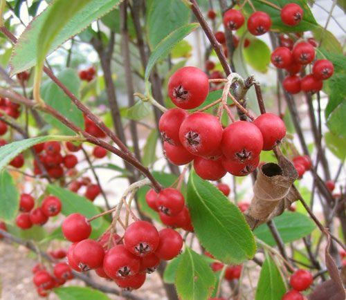 red chokeberry aronia arbutifolia berries cherries pinterest plants. Black Bedroom Furniture Sets. Home Design Ideas