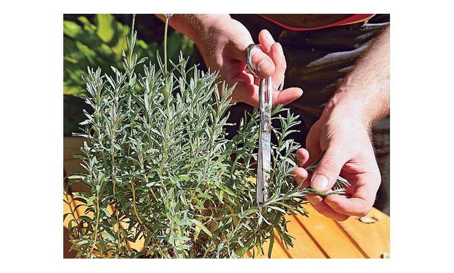 lavendel vermehren lavendel vermehren lavendel und g rten. Black Bedroom Furniture Sets. Home Design Ideas