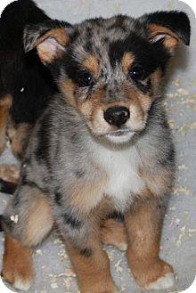 Greensboro Nc Australian Shepherd Mix Meet Ty A Puppy For Adoption Australian Shepherd Pets Australian Shepherd Mix