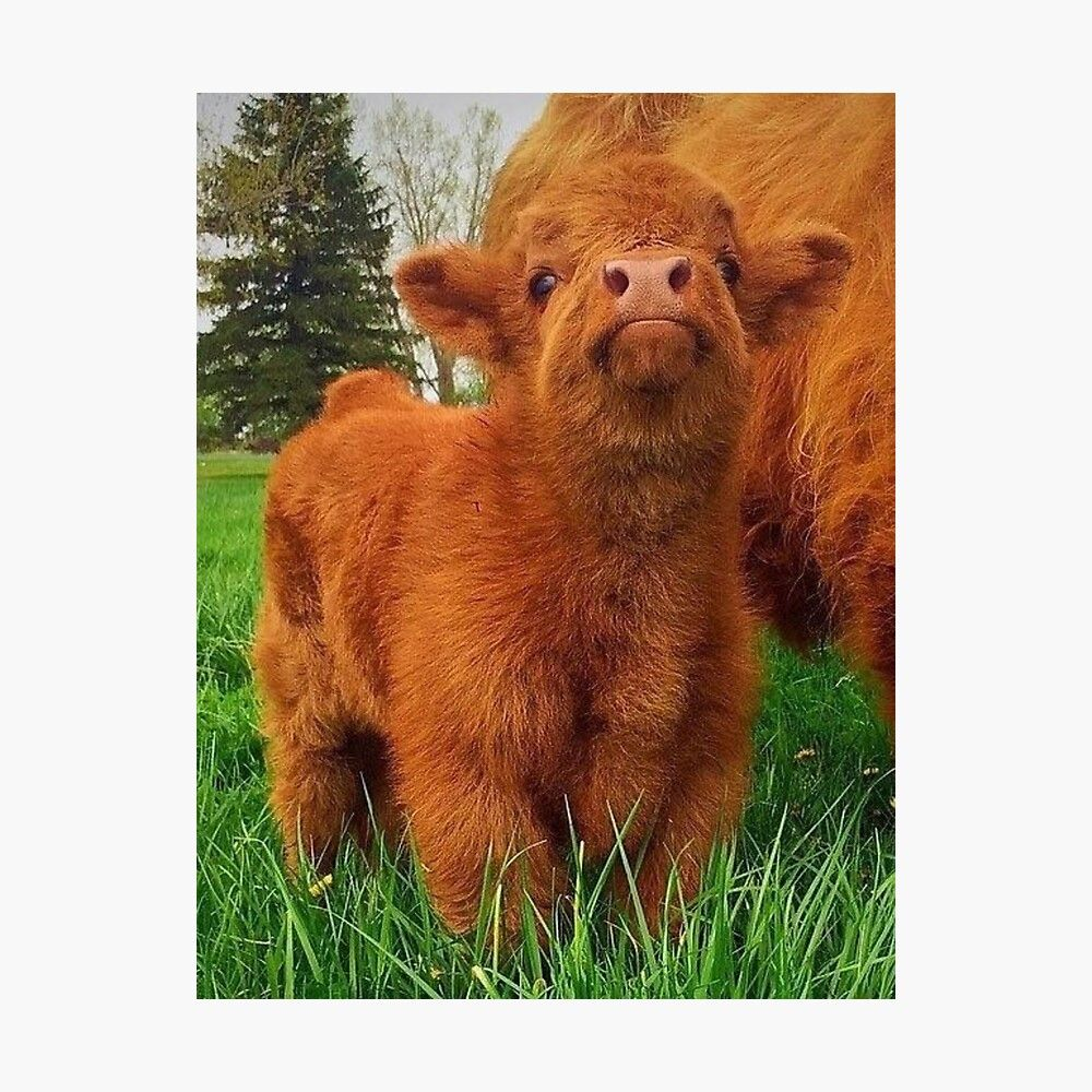 Baby Fluffy Cow Photographic Print