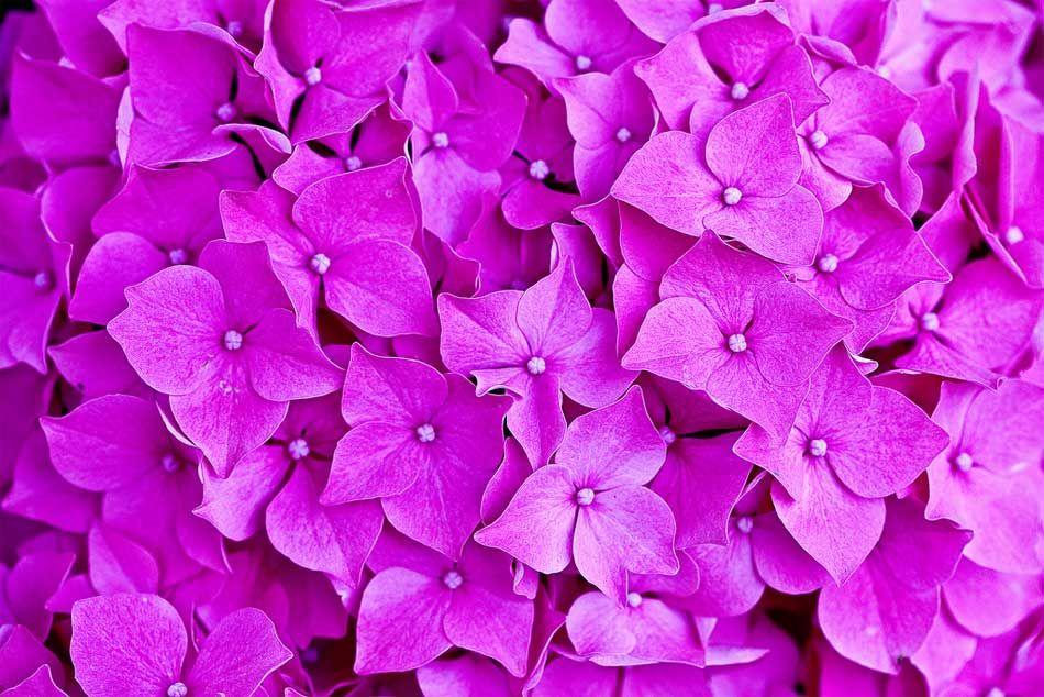 cambiar el color de las hortensias