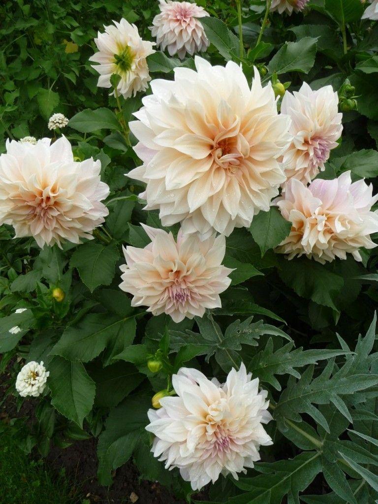 Dahlia 'Café au lait', l'opulence faite fleur | Faire pousser des fleurs, Fleurs et Planter des ...