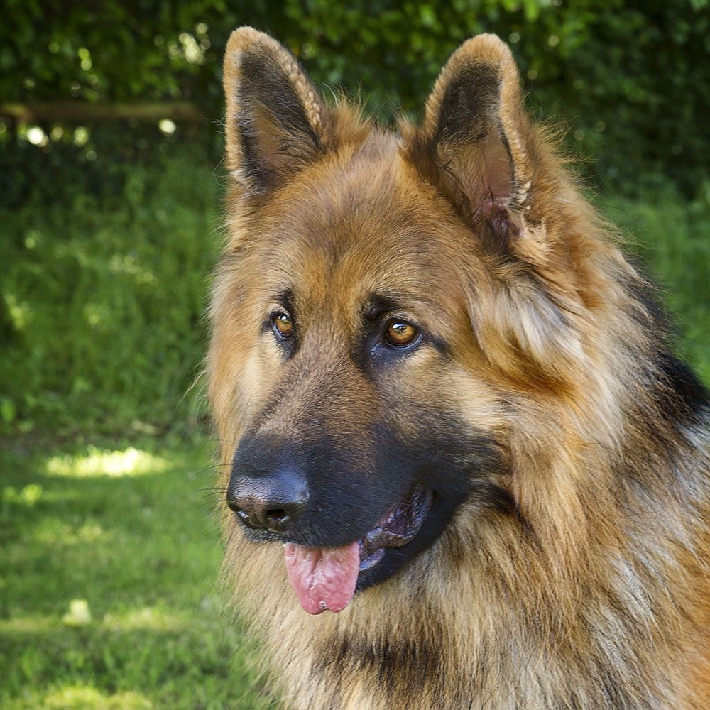 Www Pets4homes Co Uk Images Classifieds 2015 06 10 986999 Large Long Haired German Shepherd Puppies Fo Puppies For Sale German Shepherd Puppies German Shepherd