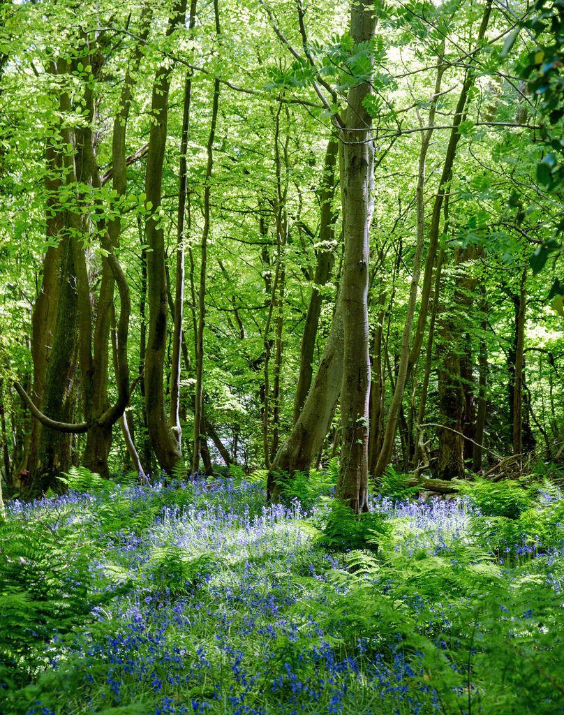 wanderthewood: Ballaglass Bluebells, Isle of Man by ronstrathdee on Flickr