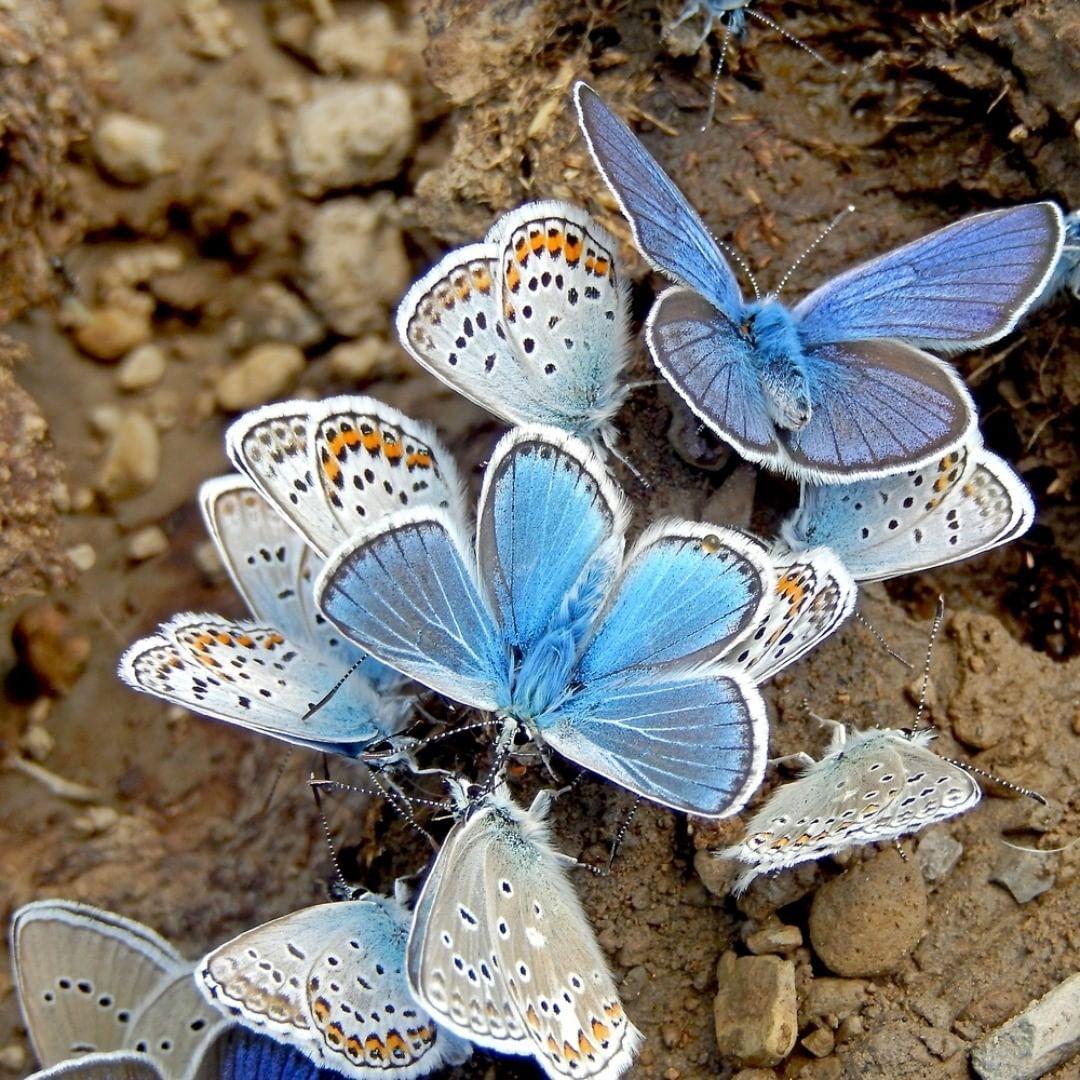 Gefallt 807 Mal 8 Kommentare De Vlinderstichting Vlinderstichting Auf Instagram Blauwtjes Verzamelen Zouten Op Drollen En Vochti In 2020 Schmetterling Instagram