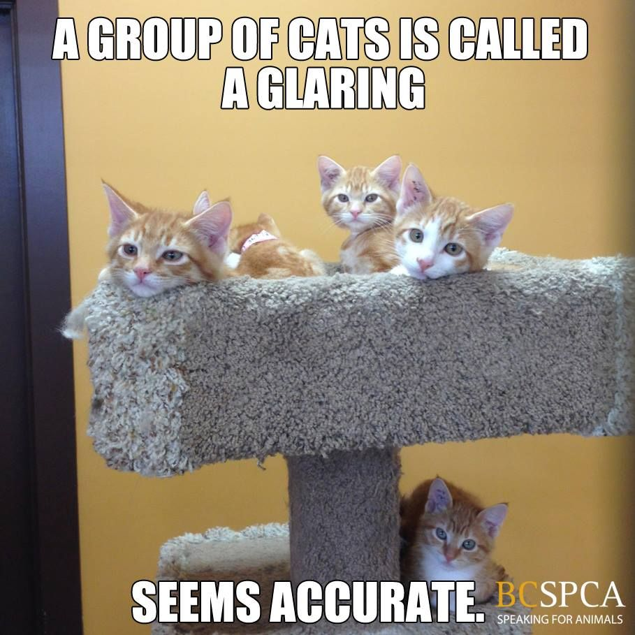 Did you know a group of cats is called a glaring These awesome