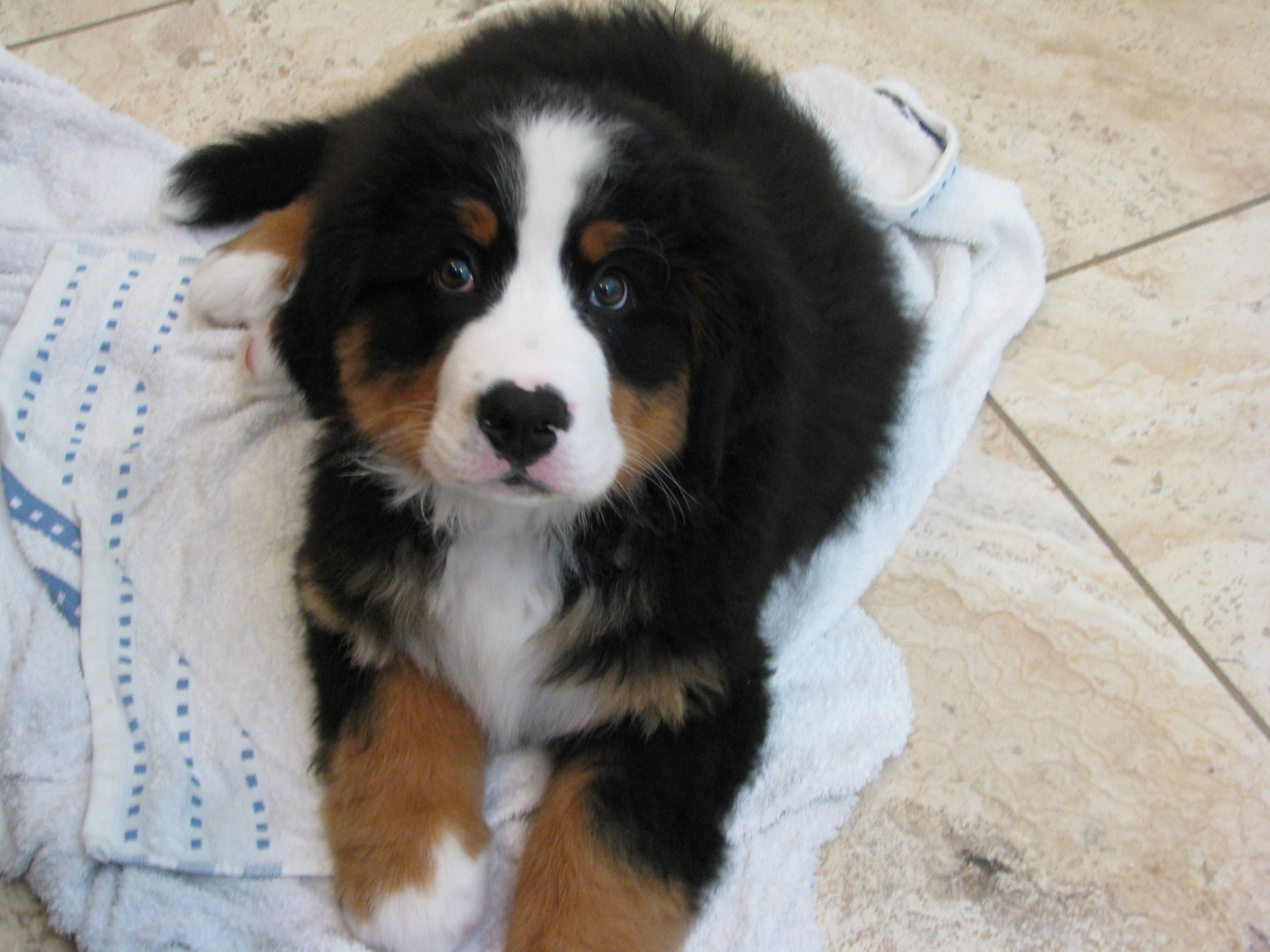 Takoda 11 Weeks Almost Dry After His Bath Bernese Mountain Dog Bernese Mountain Dog Cat