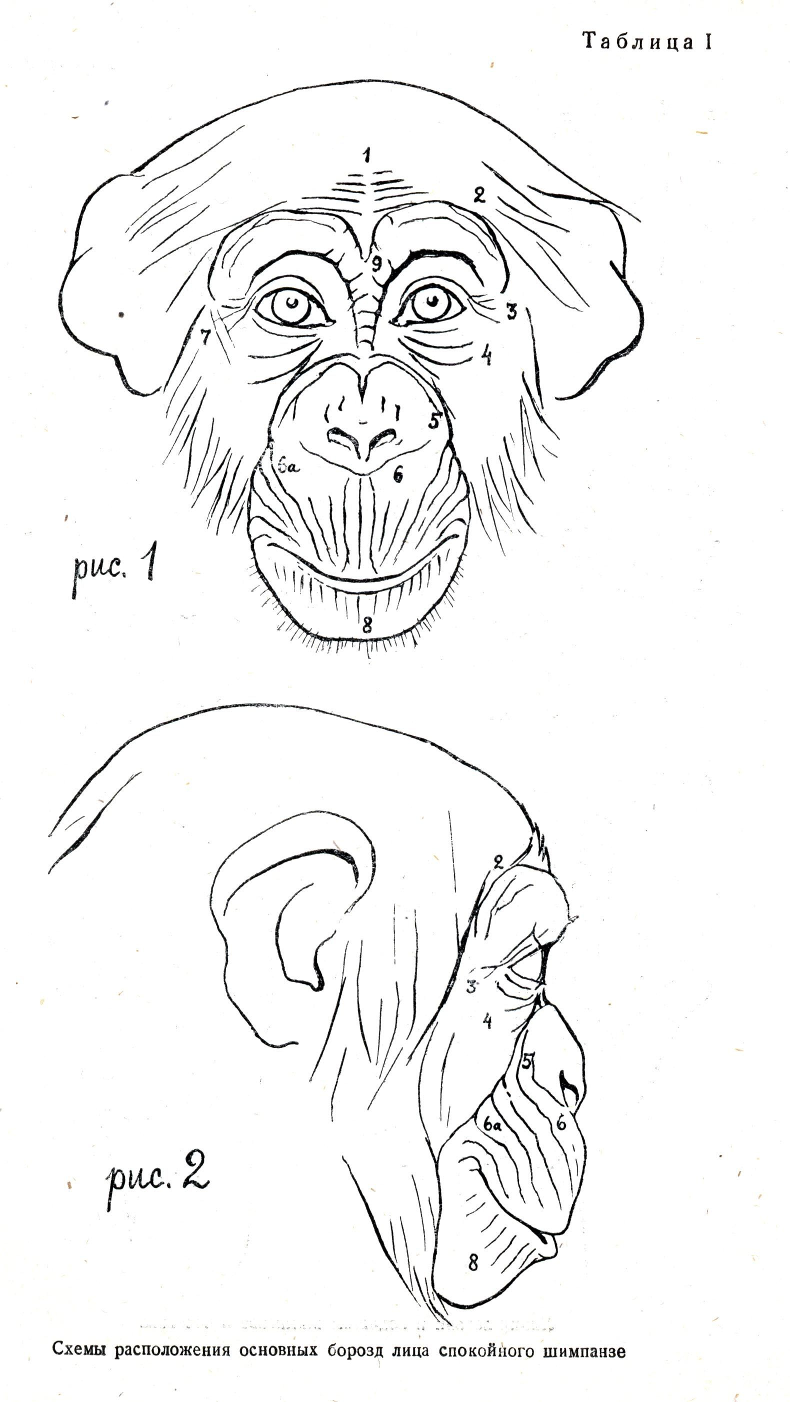 Ape line face illustration russian