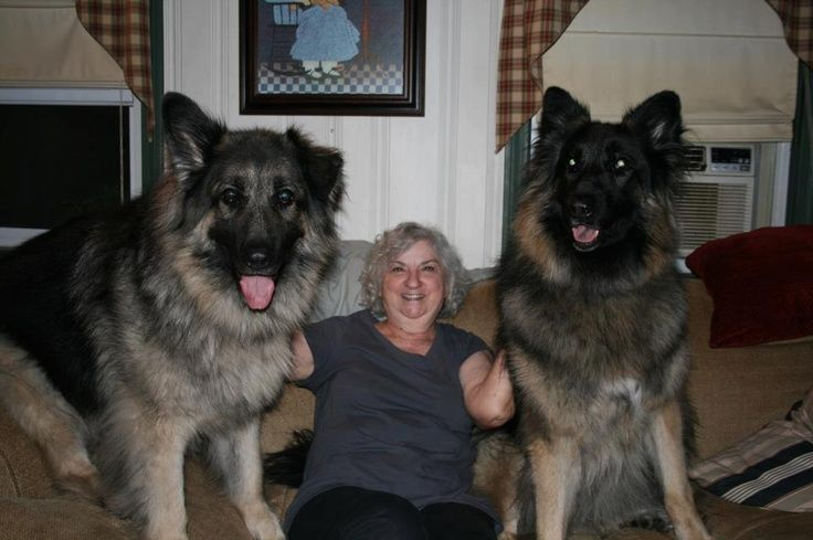 King Shepherd Dog Black King Shepherd Puppies