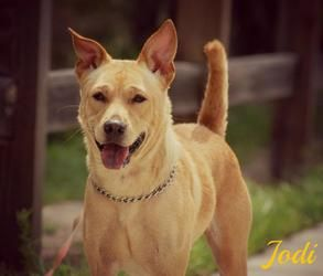 Petfinder Adoptable Dog Shiba Inu Sarasota Fl Jodi Dog Adoption Pet Organization Dogs