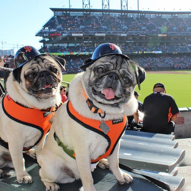 Pin By Tracey Shapter On Love Dogs Pugs Giant Dogs Dogs