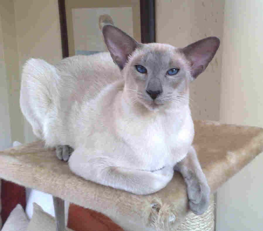 Siamese Blue Point With Images Siamese Cats Siamese Cats Blue Point Cats And Kittens