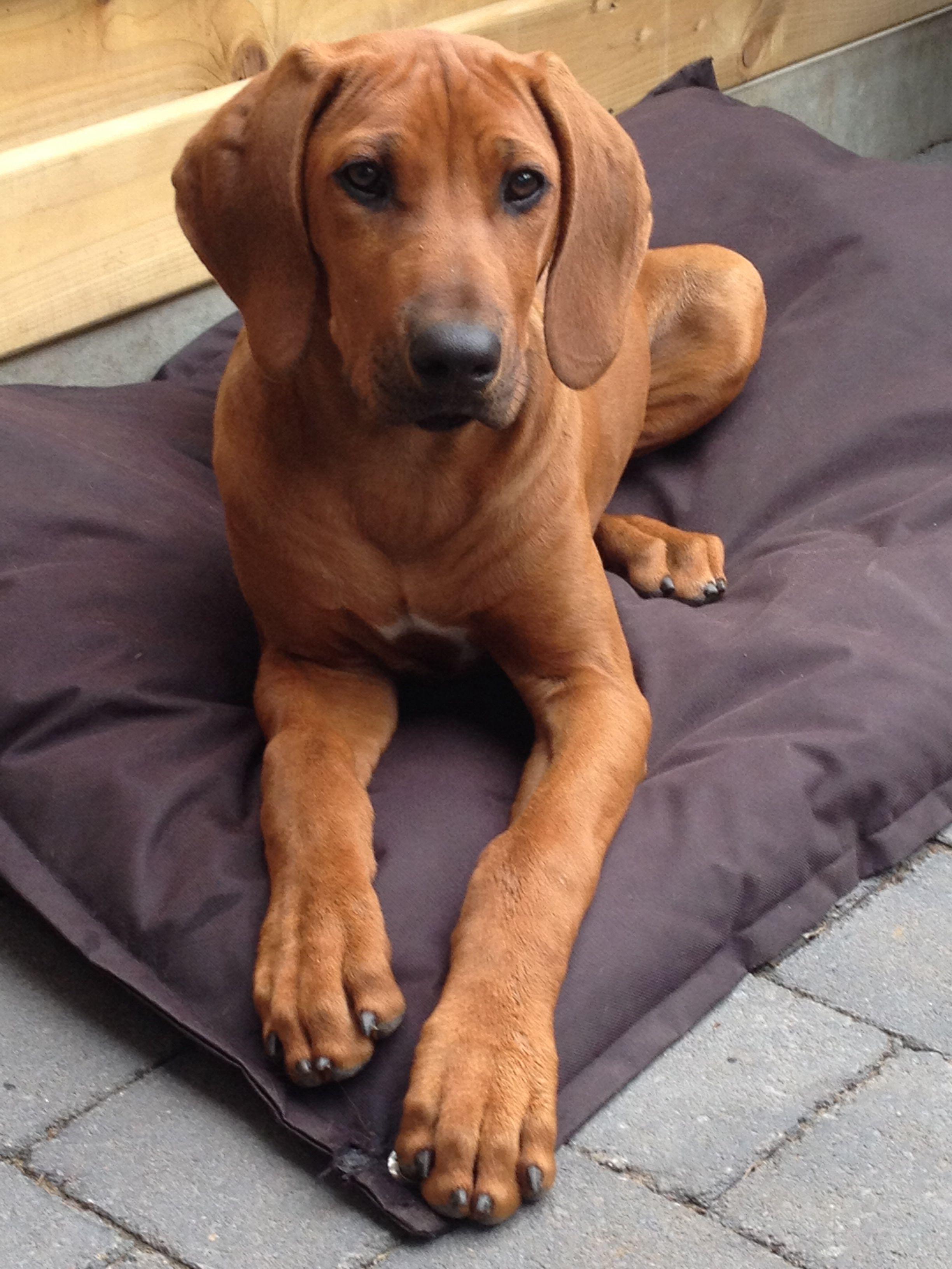 Oona 15 Weeks Large Dog Breeds Redbone Coonhound Rhodesian Ridgeback Dog