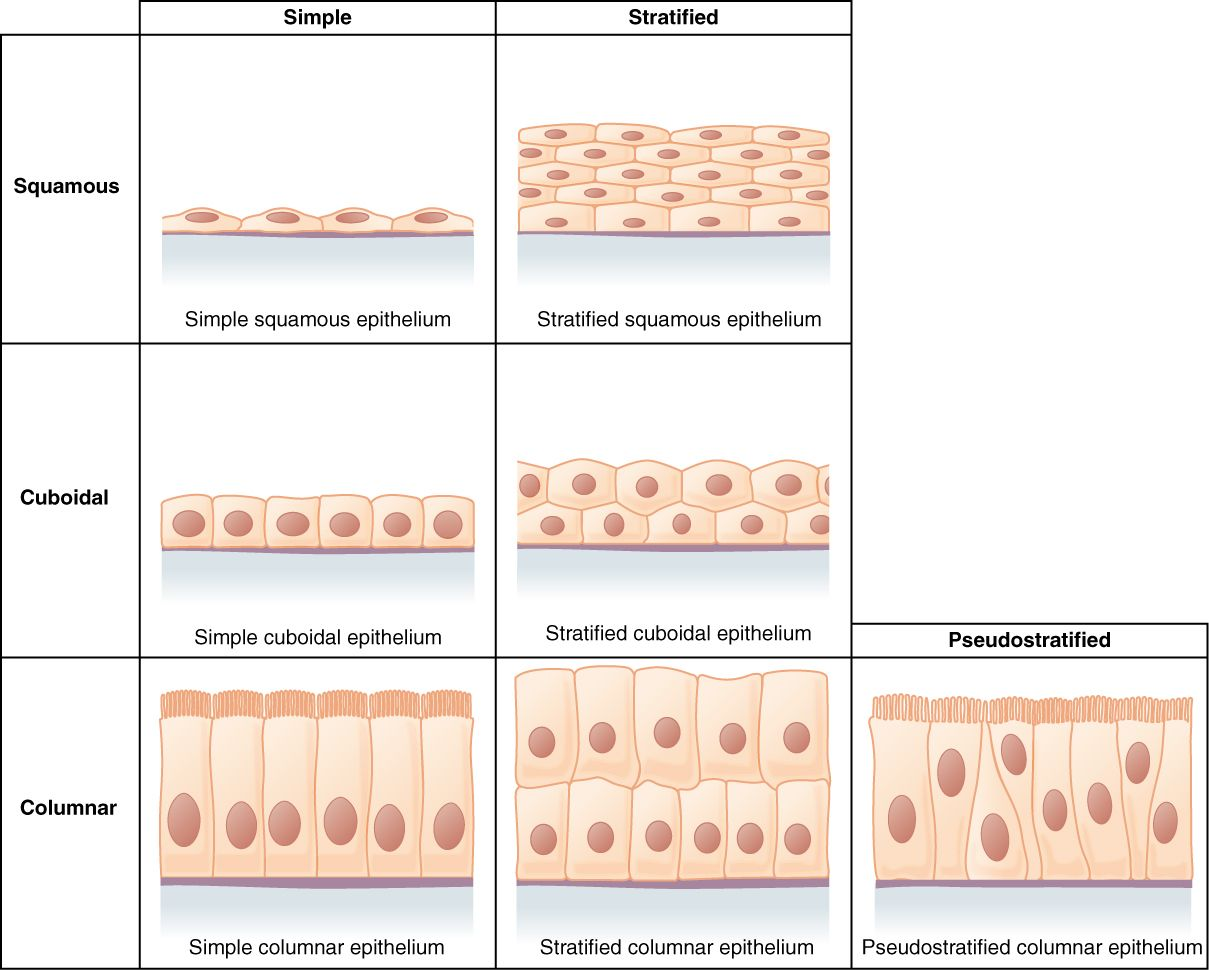 Epithelial Tissue Diagram Unlabeled | Anatomy and Physiology | Anatomy, physiology, Tissue types