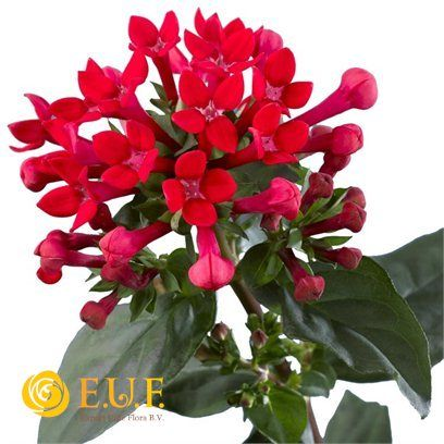 1000 Images About Bouvardia Bouquet On Pinterest Pewter Grey Bouvardia Flowers Seasonal Flowers Flower Names