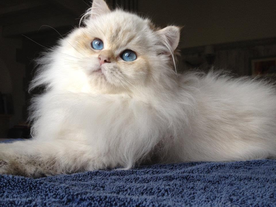 British Longhair Male Black Golden Shaded Point Cat Chat Britishlonghair Animal Cats Cute Creatures Long Hair Styles