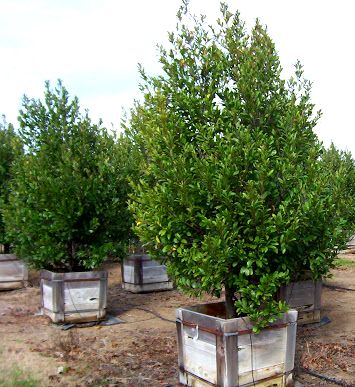 Plant Preview: Centre Court Cherry Laurel Garden Debut informal flowering hedge tree form