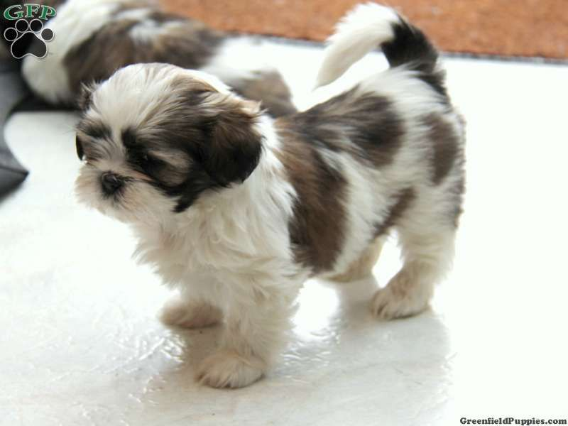 Shih Tzu Puppies Nj Images 6 Hd Wallpapers With Images Shih